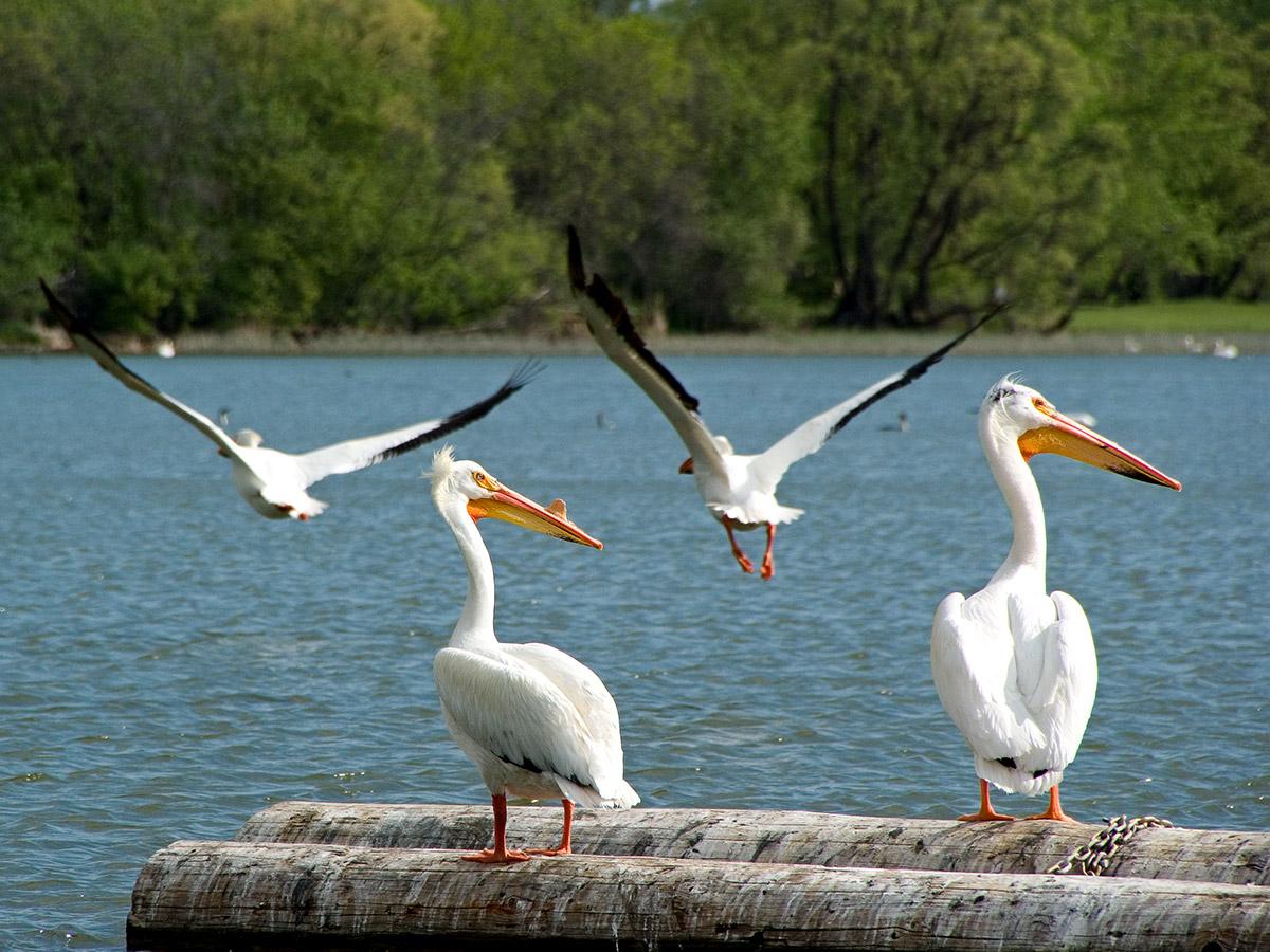 Pelicans at Pelican Lake